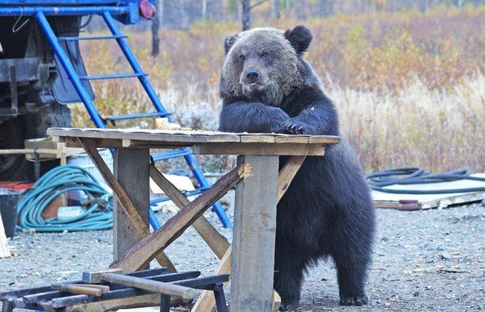 medved_v_restorane