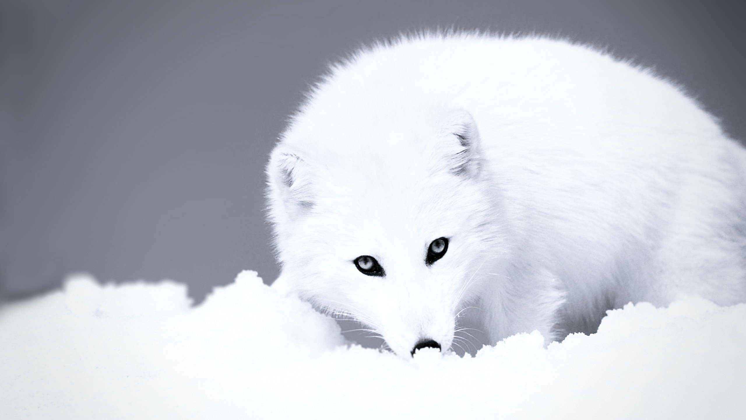 grayscale-arctic-fox-desktop-wallpaper-2560x1440